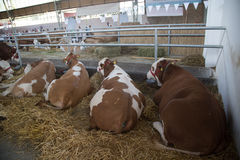 Pose de vaches photographie stock libre de droits