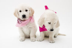 Pose des chiots Images stock