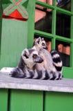 Pose des lémurs Photo libre de droits