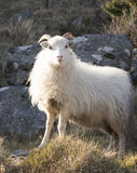 Pose des moutons Images stock