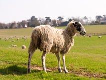 Pose des moutons enceintes dans un domaine de ferme Photos stock