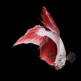 Pose des poissons de combat, poissons de combat Image libre de droits