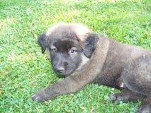 Pose do cachorrinho Imagens de Stock Royalty Free