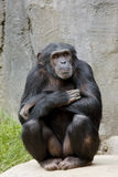 Pose do chimpanzé Imagem de Stock Royalty Free