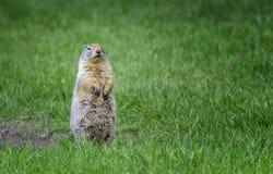 Pose do esquilo à terra Fotos de Stock