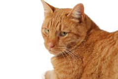 Pose do gato Foto de Stock