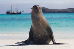 Pose do leão de mar de Galápagos largamente Fotografia de Stock