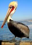 Pose do pelicano Imagem de Stock Royalty Free