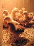 Pose dos pintainhos da galinha Imagens de Stock