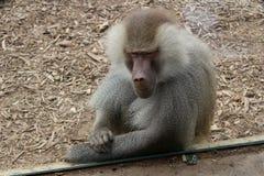 Pose du babouin Image libre de droits