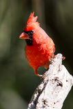Pose du cardinal Photo stock