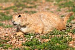 Pose du chien de prairie Photos libres de droits