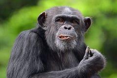 Pose du chimpanzé Photographie stock libre de droits