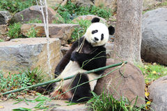 Pose du panda Photo stock