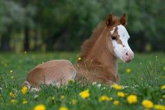 Pose du poulain de poney de gallois Image libre de droits