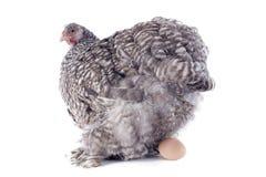 Pose du poulet photos stock