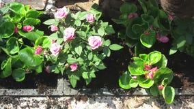 Pose et disposition de jardinage des fleurs banque de vidéos