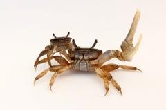 Pose masculine et femelle de crabes de violoneur (minax d'Uca) Image stock