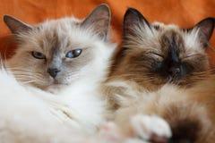 Pose mignonne de sommeil de deux chats sur le lit près de l'un l'autre Photographie stock