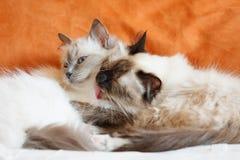 Pose mignonne de sommeil de deux chats sur le lit près de l'un l'autre Images libres de droits