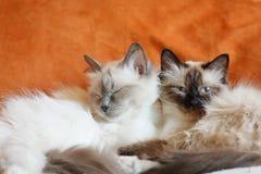 Pose mignonne de sommeil de deux chats sur le lit près de l'un l'autre Image stock