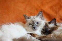 Pose mignonne de sommeil de deux chats sur le lit près de l'un l'autre Photos libres de droits