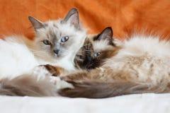 Pose mignonne de sommeil de deux chats sur le lit près de l'un l'autre Photo stock