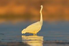 Pose peu commune de héron de grand blanc Image libre de droits