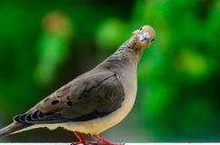 Pose pour l'appareil-photo - colombe de deuil Image libre de droits
