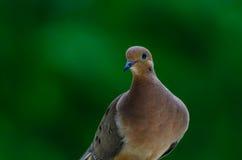 Pose pour l'appareil-photo - colombe de deuil Photo stock