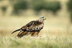 Pose a rapacious Kite Royalty Free Stock Photo