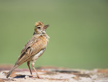 The pose. A Rufous-naped Lark poses for a portrait Stock Photos