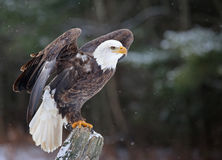 Posed Bald Eagle Royalty Free Stock Photo