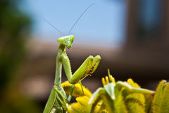 Posed Mantis. Macro green nature yellow skyblue praying mantis antennae stock photography