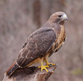 Posed Red-tailed Hawk Stock Photos