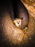 Poser. Bush baby in the Kruger National Stock Image