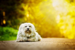 Poser. Little White Havanese sits on a forest road and is illuminated by the sun Royalty Free Stock Image