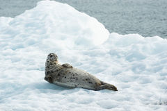 Poser Sea Lion Laying on Iceberg North Pacific Ocean. This Sea Lion appears to know he is being photographed a wild animal laying on ice in the Pacific Ocean Royalty Free Stock Images