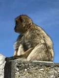 Posera av en Gibraltar apa fotografering för bildbyråer