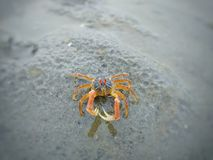 Posera av en krabba royaltyfri fotografi