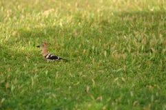 Posera fågeln Fotografering för Bildbyråer