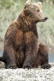 posera för björn Arkivfoton