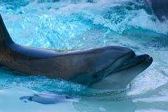 posera för delfin Arkivbilder