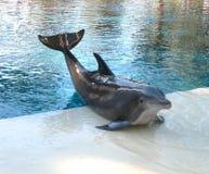 posera för delfin Arkivbild