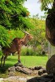posera för eland Arkivfoton