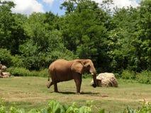 Posera för elefant Arkivfoton