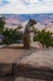 Posera för Grand Canyon ekorre Arkivfoton