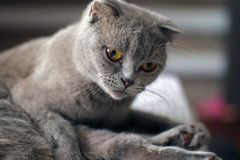 Posera för katt för skotskt veck grått arkivbilder