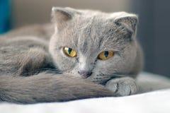 Posera för katt för skotskt veck grått royaltyfri foto