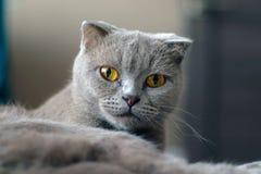 Posera för katt för skotskt veck grått arkivfoto